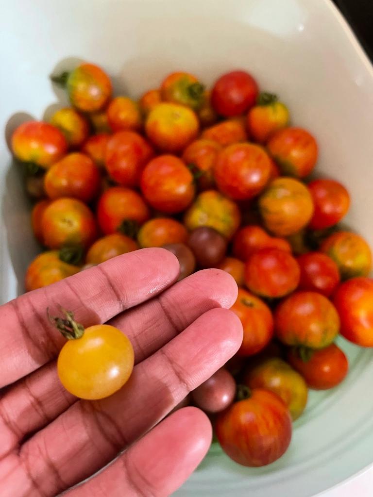 Good tomato harvest today